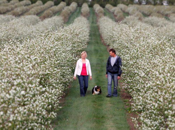 saskatoon bushes in bloom at Field Stone Fruit Winery's orchard Alberta