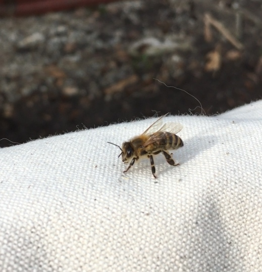 Backyard beekeeping in Edmonton