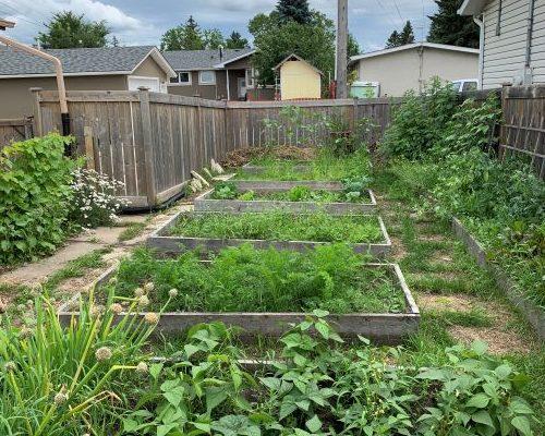 2020 garden update: pond, pot and potatoes