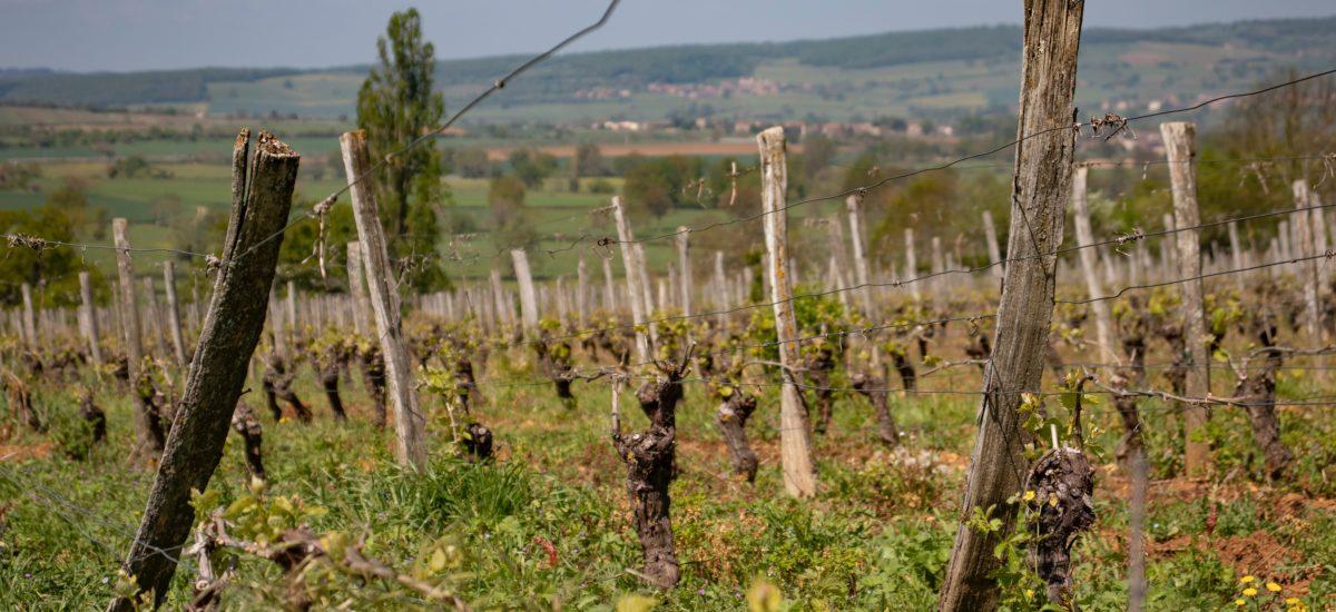 Forget Beaujolais Nouveau – try a Cru Beaujolais wine instead
