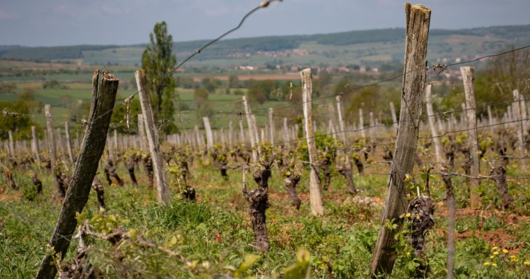 Forget Beaujolais Nouveau – try a Cru Beaujolais wine instead